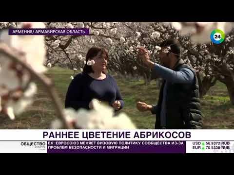 Медовый аромат: в Армении уже зацвели абрикосовые сады