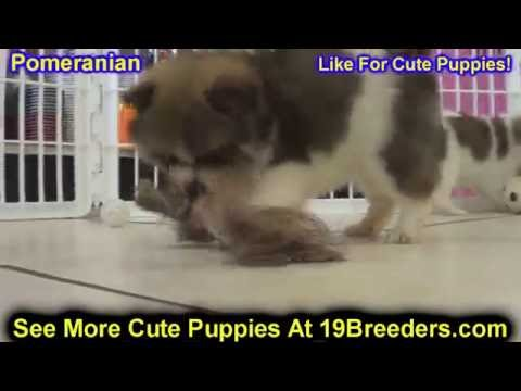 Pomeranian, Puppies, Dogs, For Sale, In Miami, Florida, FL, 19Breeders, Tallahassee, Gainesville