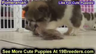 Pomeranian, Puppies , For, Sale, In Staten Island, New York, Ny, Brooklyn, County, Borough
