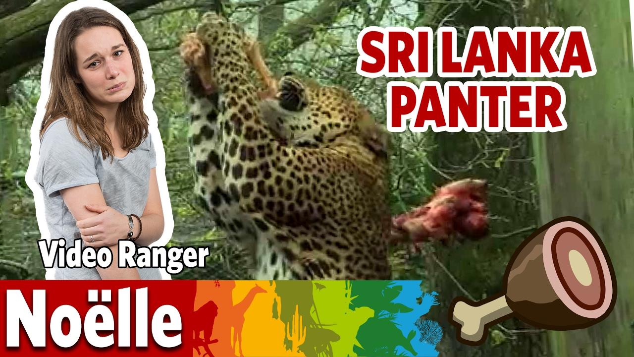 Is Noëlle de Sri Lanka panter te slim af?