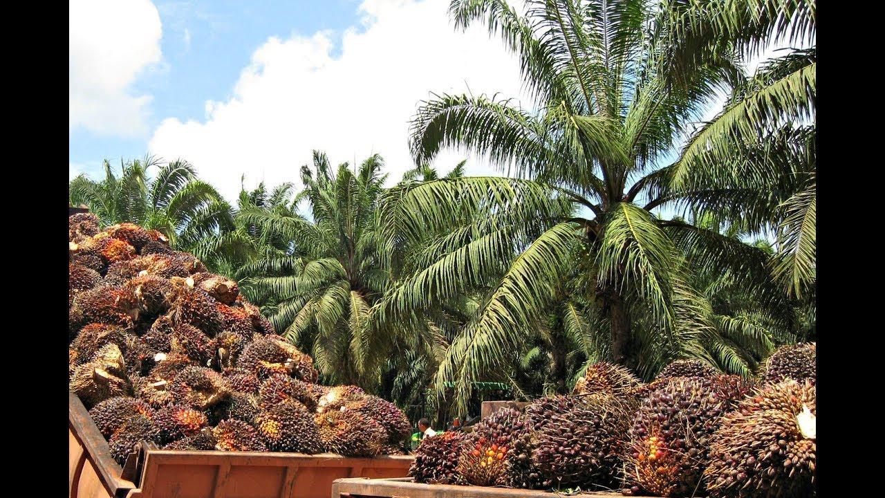 aceites de palma para que sirve