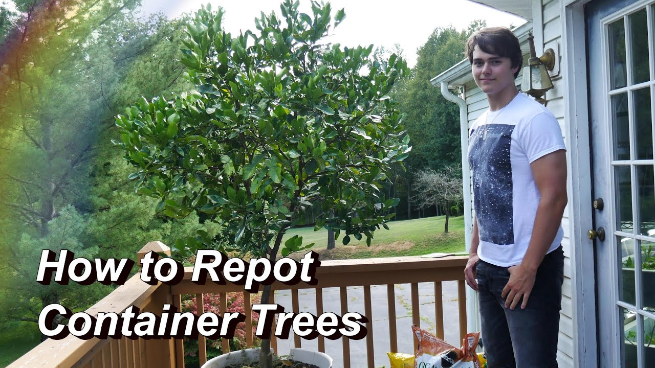 How to Repot a Container Tree Repotting the Kaffir Lime Citrus
