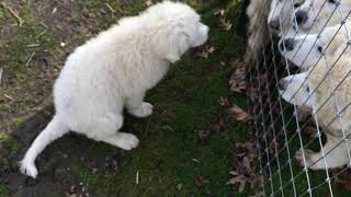 Introducing Maremma Sheepdog Puppies to be Brave