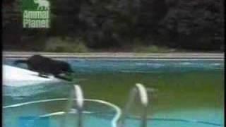 Foarte amuzant - un catel in piscina