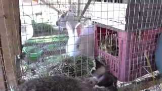 Как ухаживать за маленькими кроликами и крольчихой после  окрола(После окрола за крольчихой и маленькими кроликами нужен специфический уход. В этом видео мы поднимаем..., 2015-04-20T15:52:37.000Z)