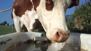 Kühe trinken Wasser / Cows drinking water