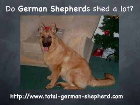 Do German Shepherds shed? - YouTube