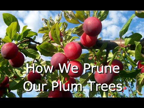 How to Prune Fruit Trees (Plums)