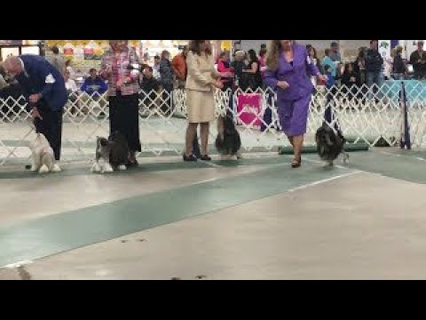 2017 03 18 IMG 4399 Kentuckiana Cluster Lowchen National Best in Breed No 25