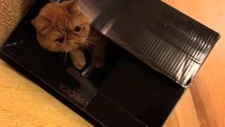 Кот в коробке / The cat in the box(Моя кошка считает, что коробка - это её домик. Я не стала её огорчать. Почему коты любят коробки, я не знаю,..., 2016-05-09T02:47:28.000Z)