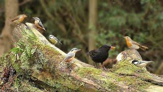 Movie for Cats - Woodland Bird Fun