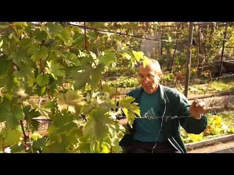 Обрезка старого винограда в Сибири
