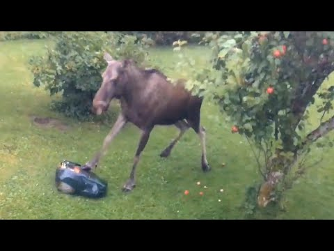 Moose Attacks Lawnmower