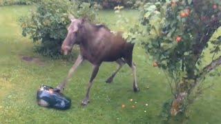Moose Attacks Lawnmower