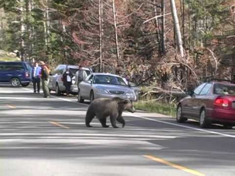 Bear jam at Yellowstone