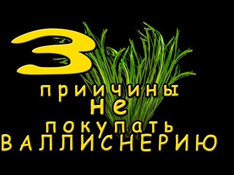 3 Причины не покупать Валлиснерию Аквариумные растения 3 причины не заводить Валлиснерию