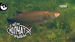 Сом и жерех озера Балхаш О чем молчат рыбы