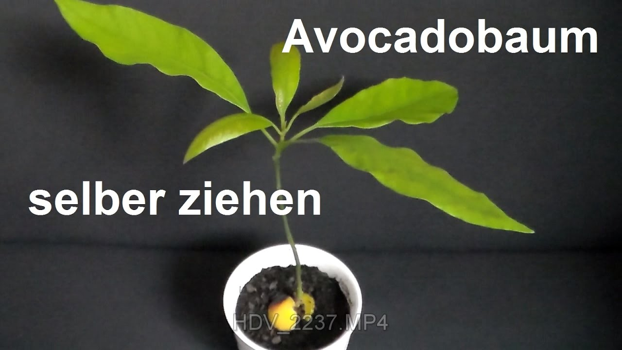 avocadobaum selber ziehen avocado z chten avocado einpflanzen how to grow avocado tree youtube. Black Bedroom Furniture Sets. Home Design Ideas
