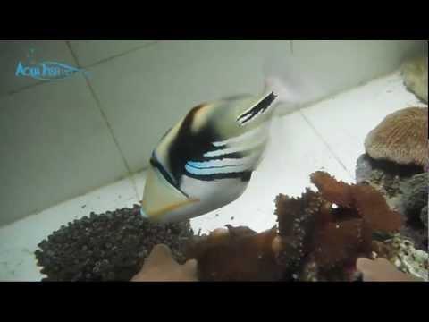 Picasso Triggerfish (Rhinecanthus Aculeatus) || AquaFishViet.com
