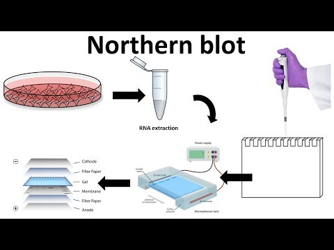 northern blot