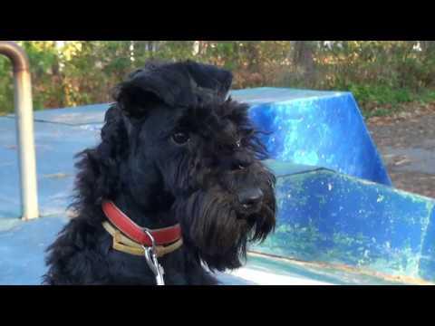 Kerry blue terrier (6 months): training and running/Керри блю терьер(6 мес.): тренировка и беготня