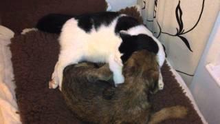 Border Terrier Poppy Washing The Cat