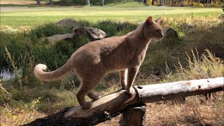 The Unleashed Adventures of Buddy the Cat: Mammoth Mountain Golf Ball Hunt Finale (Part III)