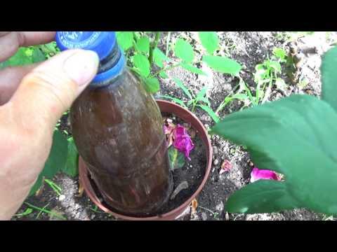 Размножение розы и гортензии черенками.