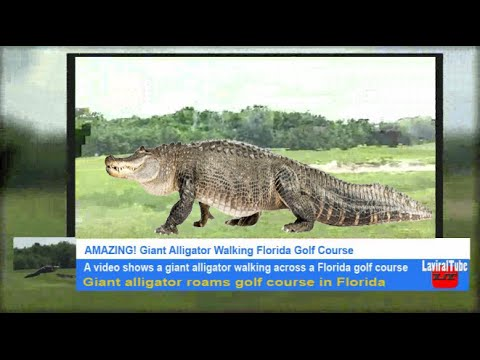 Amazing Giant Alligator Walking Florida Golf Course Real Or Fake Youtube