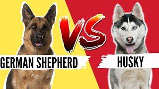 German Shepherd VS Siberian Husky Which Breed is Best For You