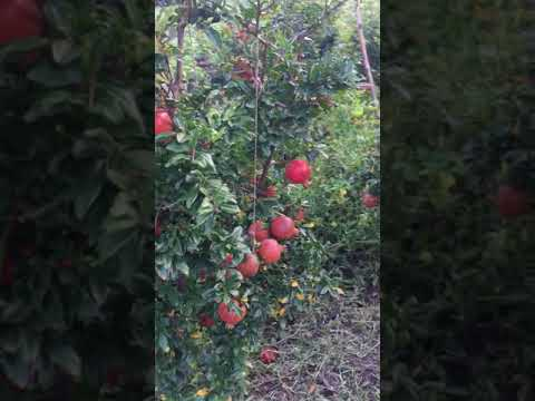 Two Brothers Organic Farms Pomegranate