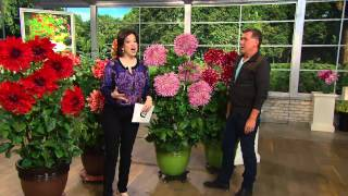 Download Video Roberta's 4-pc. Over-the-Top Dahlia Extravaganza Collection with Dave James MP3 3GP MP4
