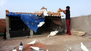 High flying pigeon frm india hyderabad mujahid