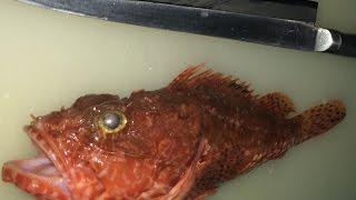方 さばき カサゴ の ウッカリカサゴの目利きと料理:旬の魚介百科