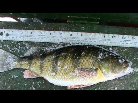 how to catch perch ice fishing