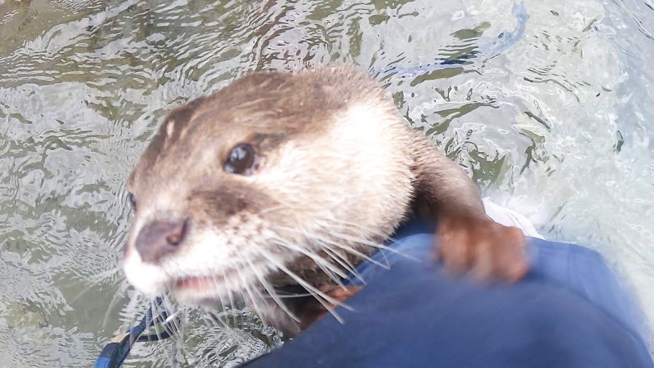 Aty wanted play with me so badly that he became a jealous otter. [Otter life Day 574]