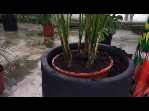 Plantación de kentia