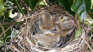 Panen anakan burung cendet ada tiga ekor anakan sudah besar