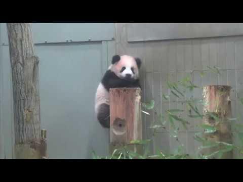 シャンシャン、丸太の上によじ登る(11月6日撮影)のイメージ画像