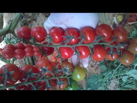 Agriculture Technology - Israeli cherry tomatoes from the desert Full Procedure