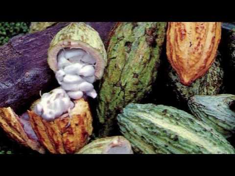 El cacao manjar de los dioses - UNAM Global