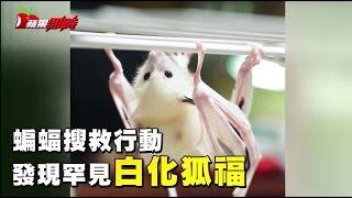 蝙蝠搜救行動 發現罕見白化狐蝠 | 台灣蘋果日報