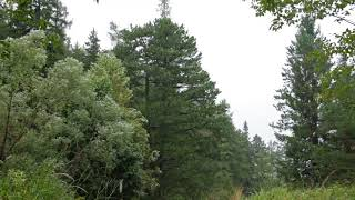 Sounds of Rain Storm in a Forest 1 Hour / Wind, Rain and Thunder (Sleeping, Meditation, Relax)