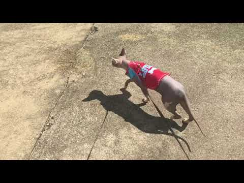Tips on how to train your Sphynx cat to walk on a leash