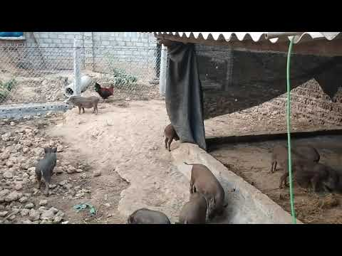 Khởi nghiệp nuôi lợn rừng