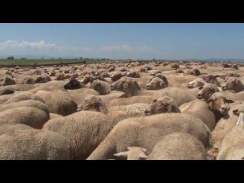Shepherding -Traditional Trades