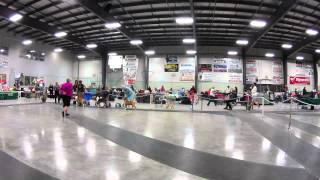 Future Champion American Staffordshire Terriers At A Dog Show