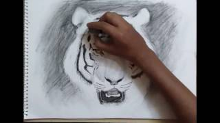 Time Lapse Charcoal Sketch of Tiger