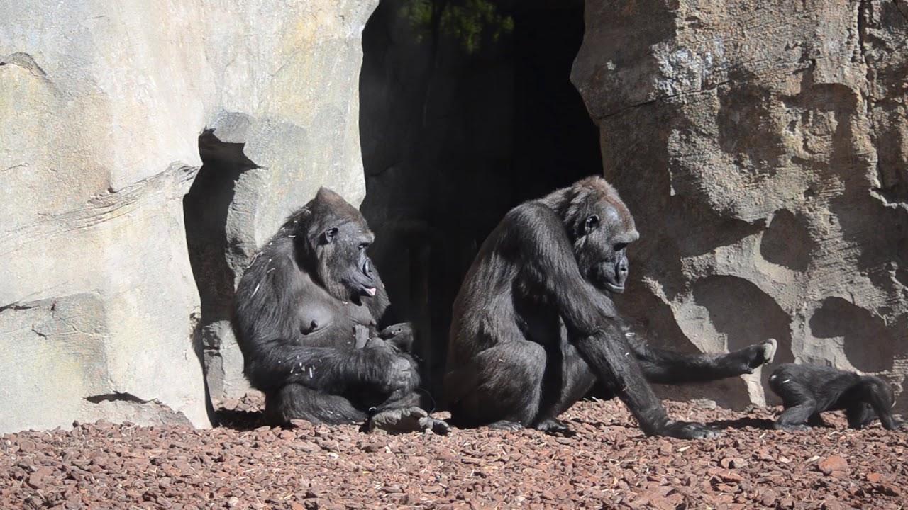 86c0844fcdba El bebé gorila Pepe cumple 5 semanas de vida en BIOPARC Valencia ...