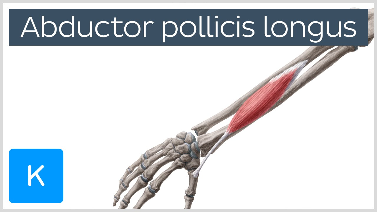 abductor pollicis longus muscle - origin, insertion, innervation, Cephalic Vein